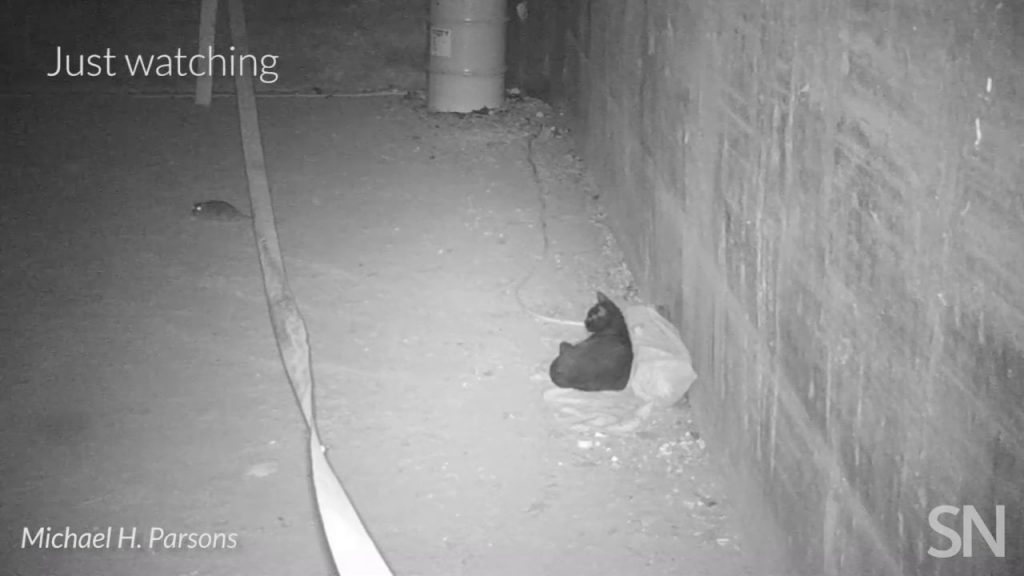 Here's what happens when streetwise cats meet NYC rats | Science News 1