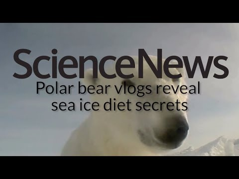 Polar bear vlogs reveal sea ice diet secrets | Science News 1
