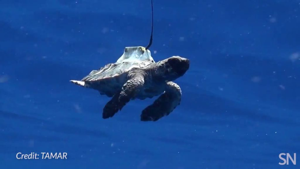 Watch a tagged sea turtle out for a swim | Science News 1