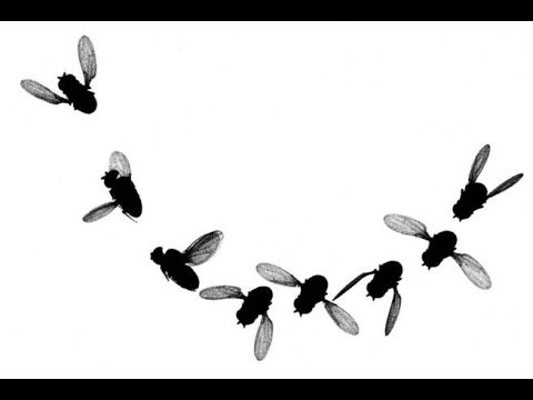 Flies turn like fighter jets | Science News 1