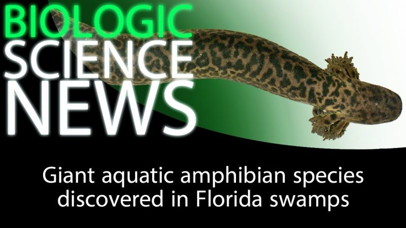 Science News - Giant aquatic amphibian species discovered in Florida swamps 2