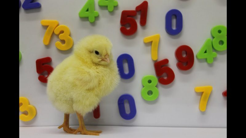 Chicks dig number lines | Science News 2