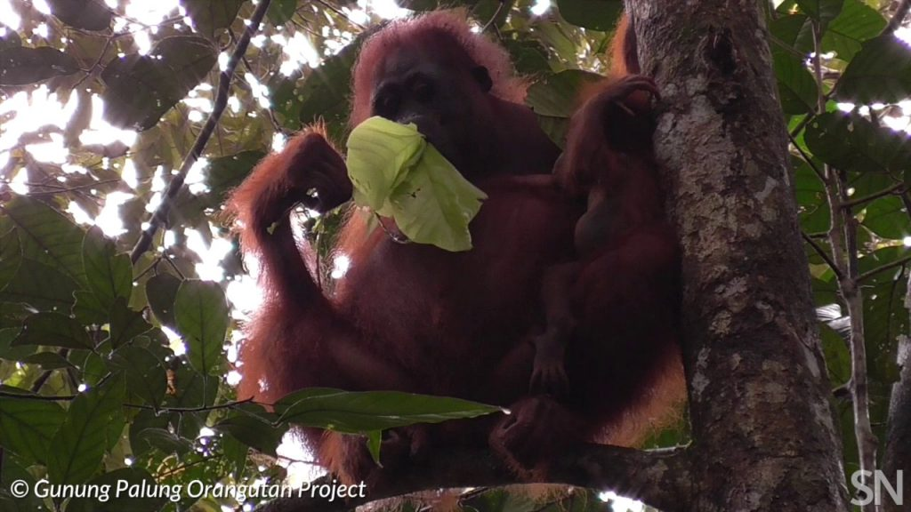 Baby orangutans can nurse for a long time | Science News 1