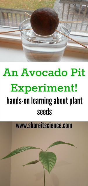 Share it! Science News : Saturday Science Experiment: Grow an Avocado! 1