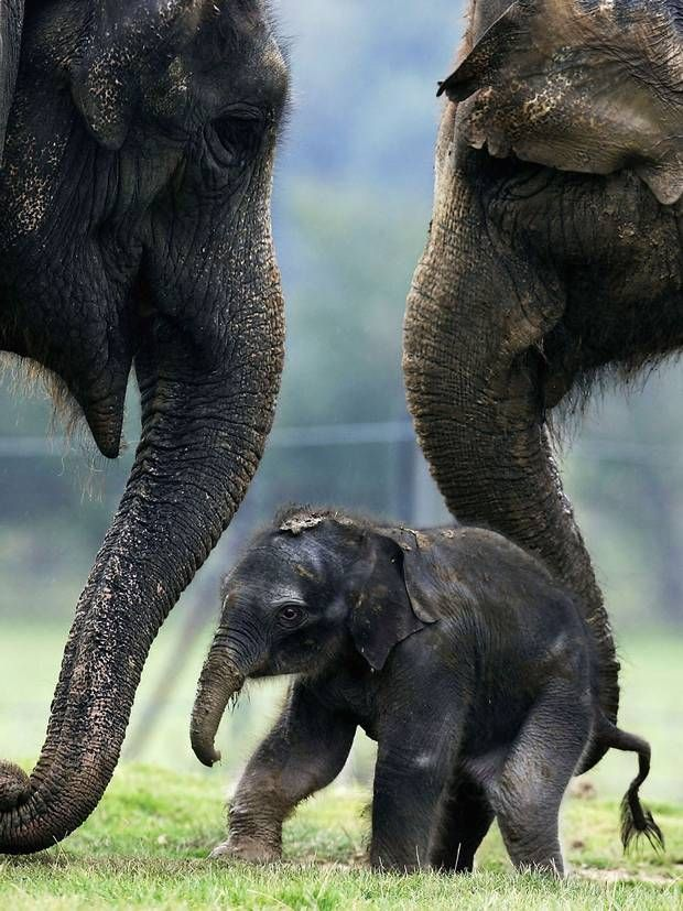 Elephants console each other in times of distress - Science - News - The Indepen... 1