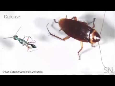 Watch a cockroach defend itself against a jewel wasp | Science News 1
