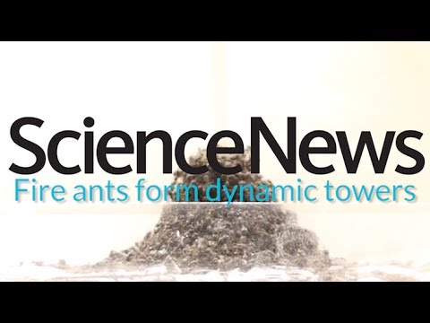 How fire ants make ant towers | Science News 1