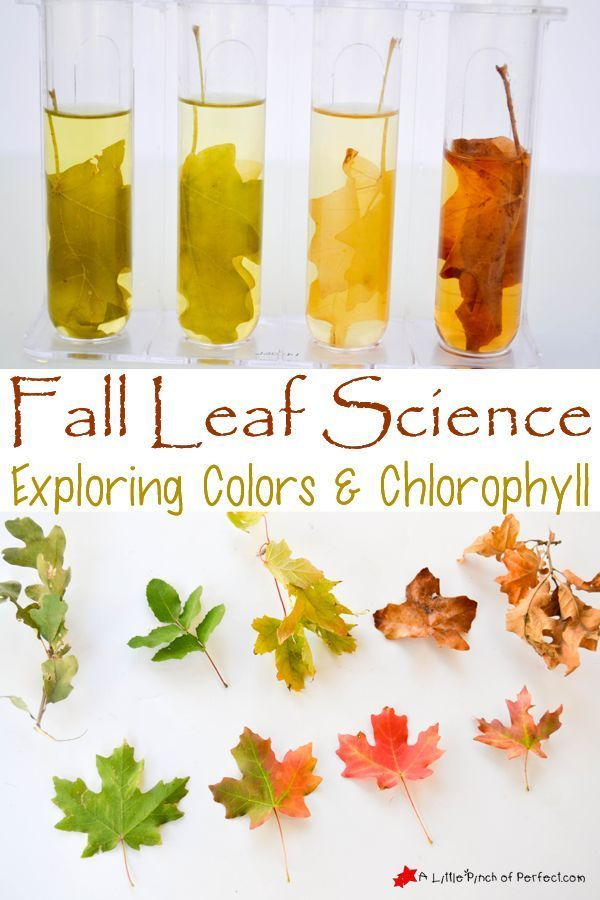 Easy Fall Leaf Science Experiment Exploring Colors and Chlorophyll 1