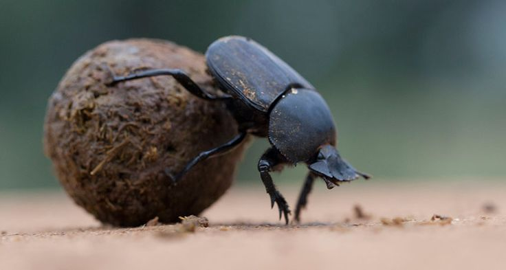 Dung beetles may rely on green and ultraviolet colors in the sky to help orient ... 15