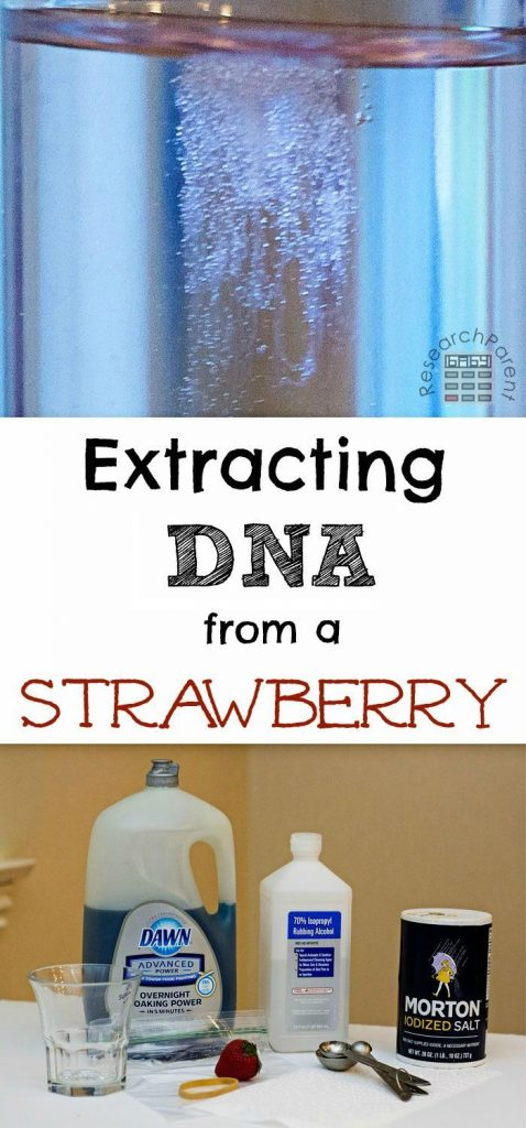 Extract DNA from a strawberry in your kitchen! This fun, easy, science activity ... 1