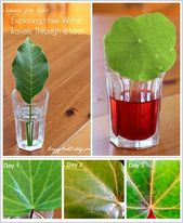 Science (STEM) for Kids: Exploring how water travels through a leaf or leaves (w... 1