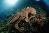 Photographic Print: Octopus (Octopus Vulgaris) by Reinhard Dirscherl : 24x16in 5