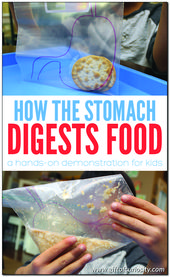 How the stomach breaks down food 1