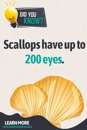 Paying attention comes natural to scallops 1